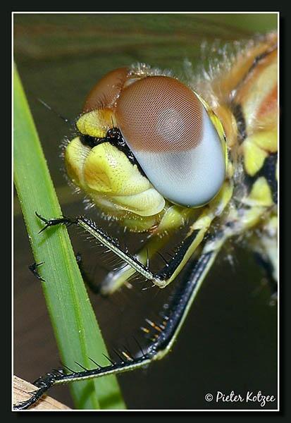 Dragonfly by Pieter_Kotzee