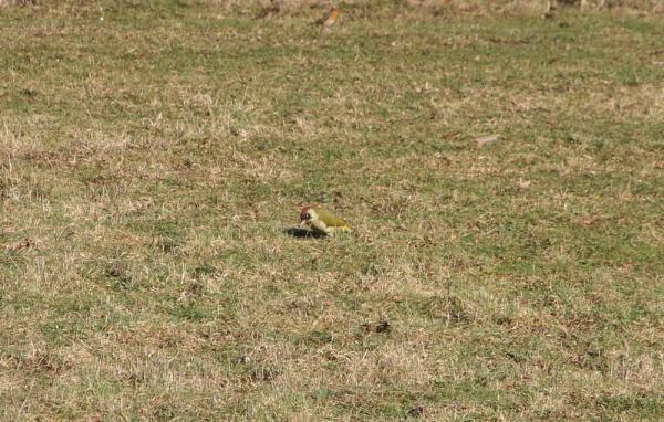 green woodpecker by md137