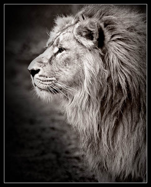 Majestic Lion by jeni