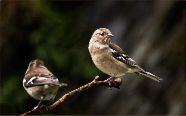 chaffinch - female by Bellai