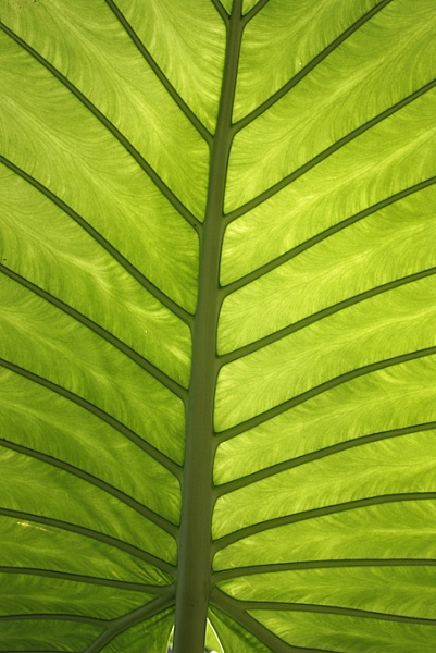 underneath a banana leaf by sillygirl