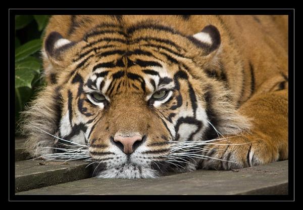 *Crouching Tiger by Mynett
