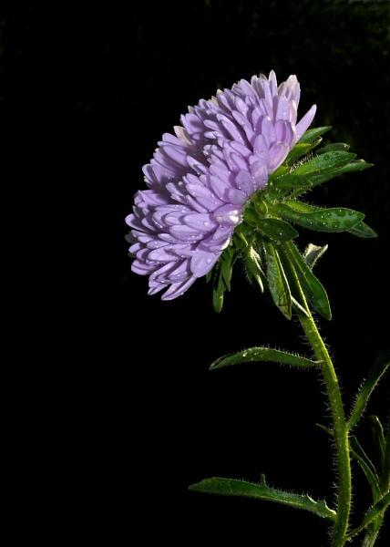 Purple-Aster by samarmishra