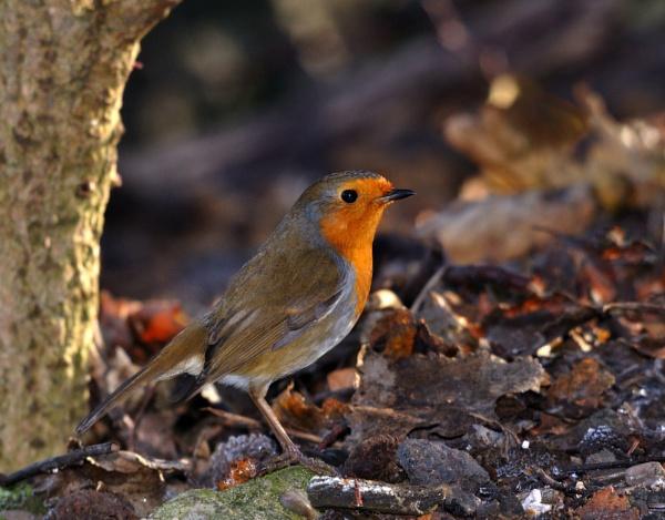Robin by bikerone