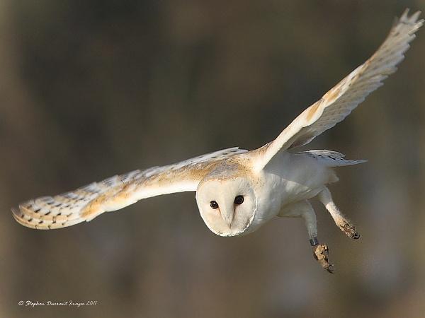 Barn Owl; by StephenDurrant