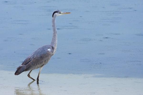 Grey Heron (Ardea cinerea) by AneesKarakkad