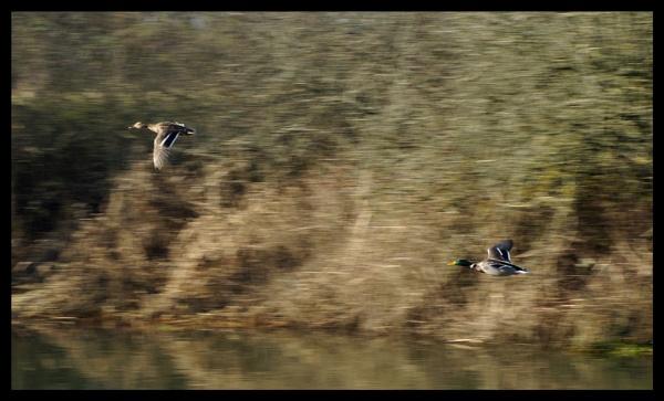 flying ducks by alianar