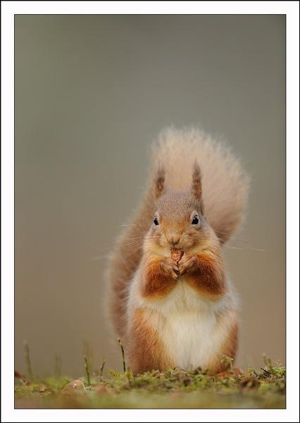 Red Squirrel by Brian_Scott