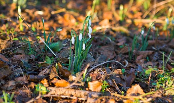 Snowdrops Spring into Life by mlanda