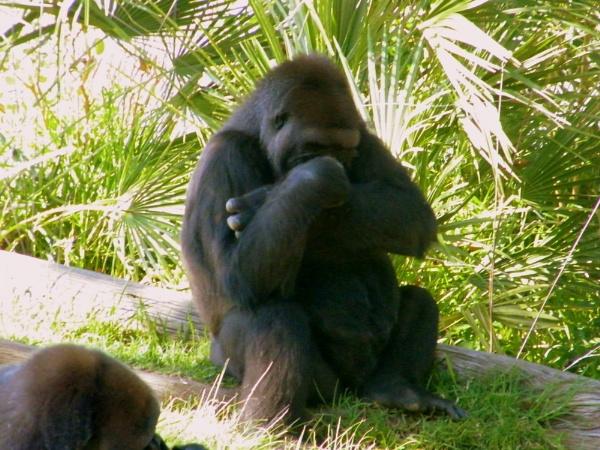 Moody Gorilla by Lizzie_x