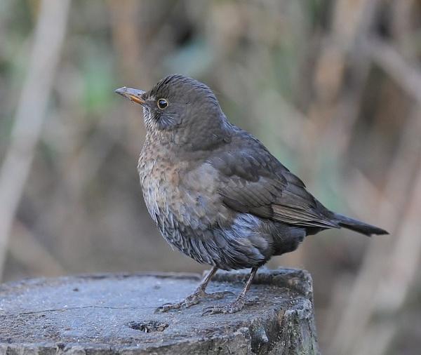 Beautiful Blackbird by GeminiNeil