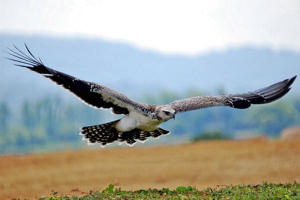 Osprey by Dilys