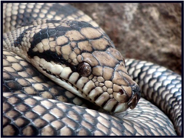 Snake eyes by electricratphotography