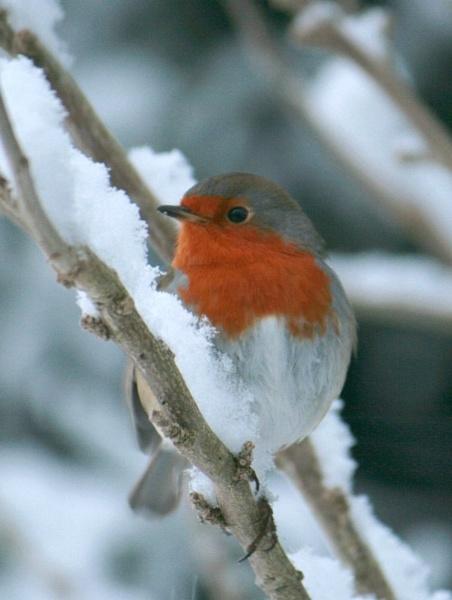 Robin in my garden by TracyK
