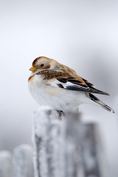 Snow Bunting by hilly1