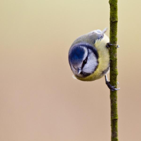 Blue Tit by kevspiers