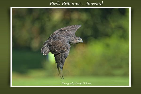 Birds Britannia: Buzzard by danob