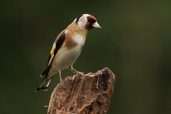 goldfinch by baxster