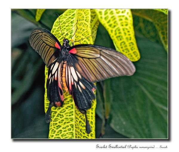 Scarlet Swallowtail (Papilio rumanzovia) by teocali