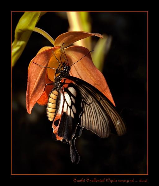 Scarlet Swallowtail 2 by teocali