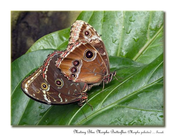 Mating Blue Morpho Butterflies (Morpho peleides) by teocali
