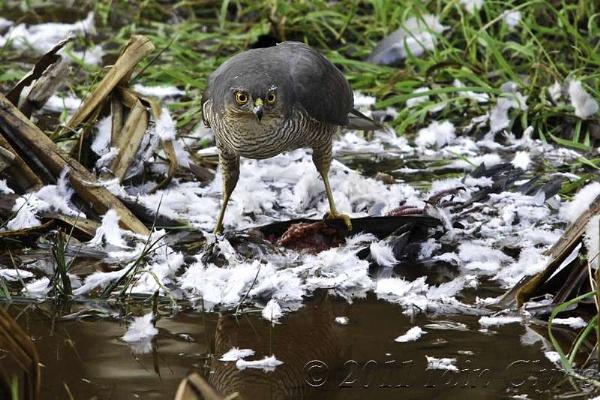 Sparrow hawk with kill by Icee