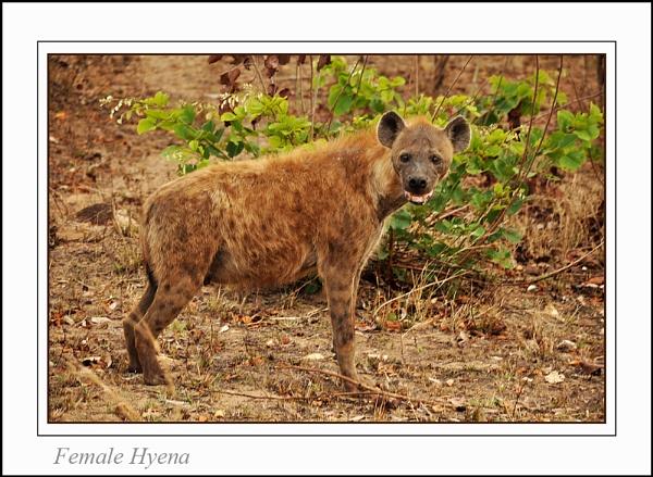 Female Hyena by Gray_ina