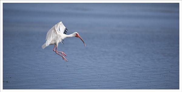 White Ibis landing by rontear