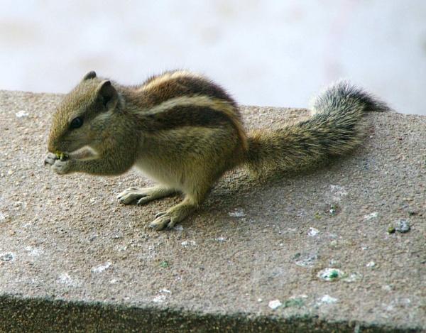Nut Cracker Chipmunk by gjayesh