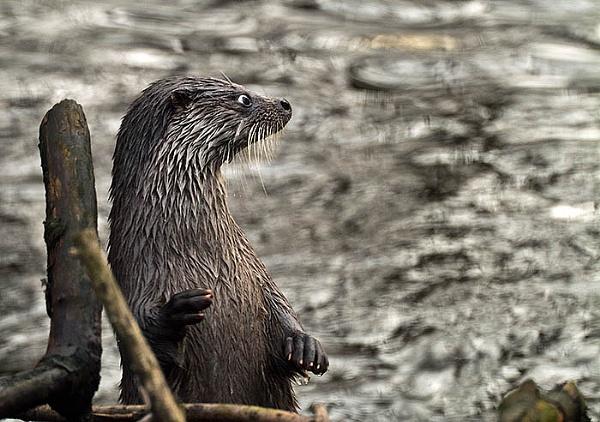 European Otter by icphoto