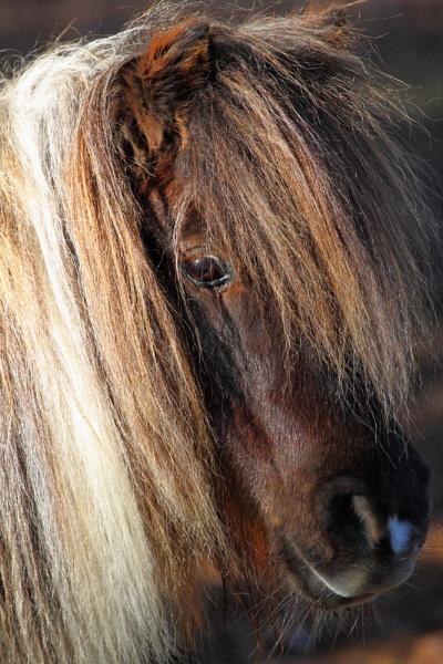 Shetland Pony by NannySue