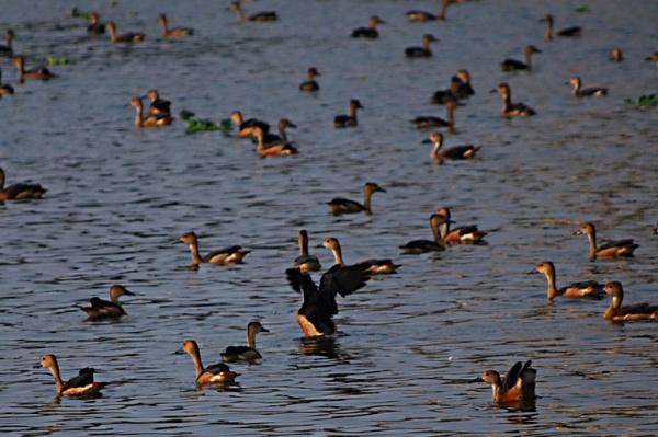 MIGRATORY BIRDS by amitav