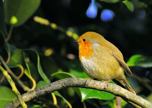 Robin, Hyde Park by gabriel_flr