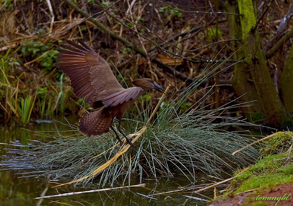 Hamerkop gathering nesting materials. by tommyld