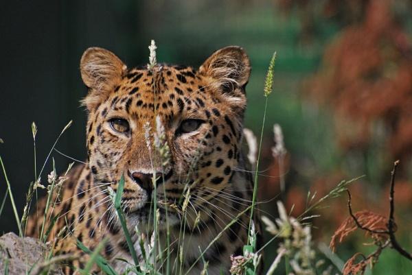 Mrs Leopard by Dilys