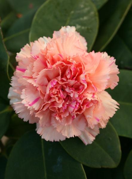 Carnation by nbatchford