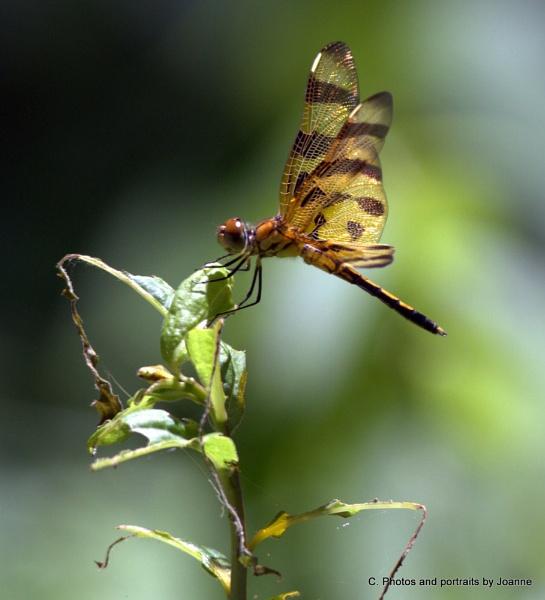 Dragonfly @ Hoffler\'s Creek by dragonflies8888