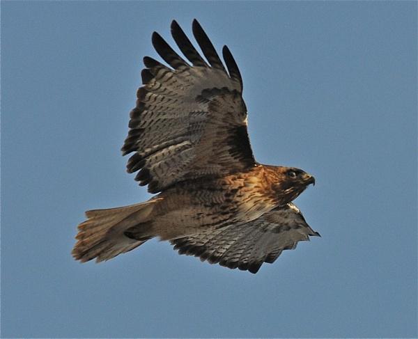 Hawk in flight by StuartDavie