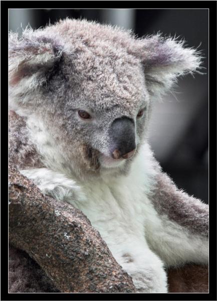 Koala by old timer