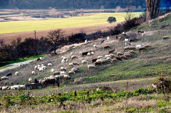 Shepherd by acbeat