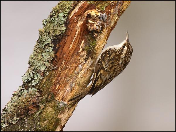 Treecreeper by Alan_Coles