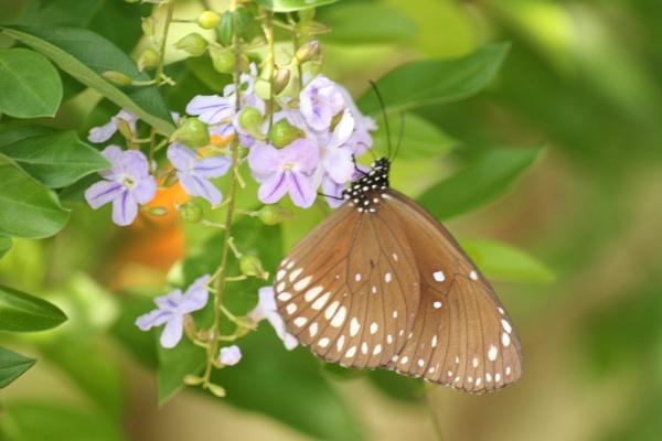 thai butterfly by mellowsoup