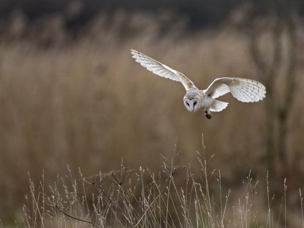 Hunting Barn Owl by JohnGubbins