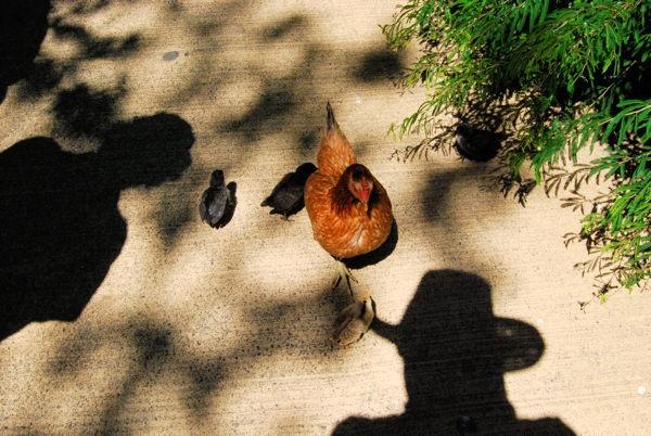 Chicken Farmer by onetreehill