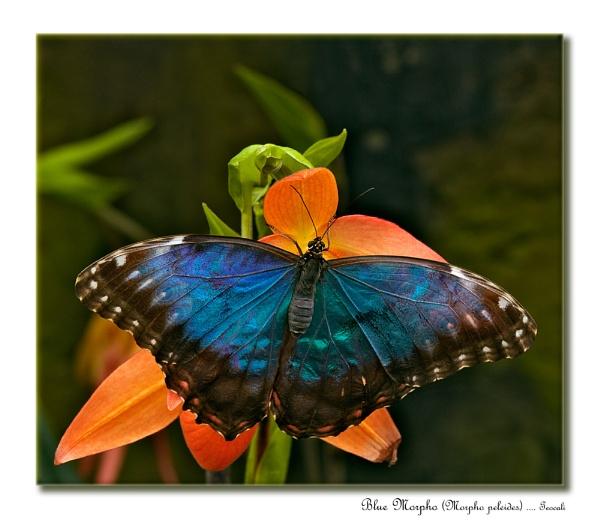 Blue Morpho (Morpho peleides) by teocali