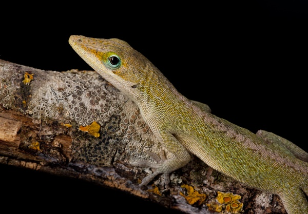 Green Anole 2 by Angi_Wallace