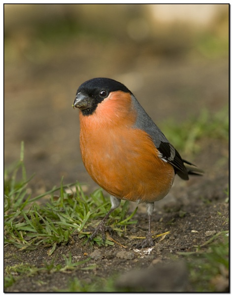 Male Bullfinch by VidB