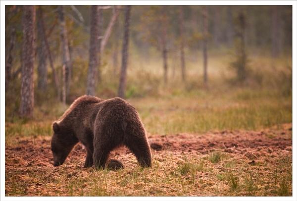 Bear in a landscape by rontear