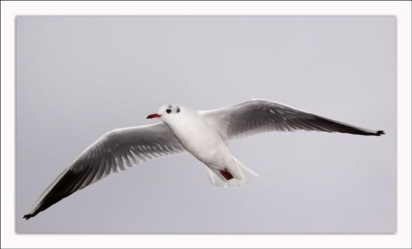Gull by Sloman