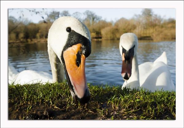 Posing swan by Sloman